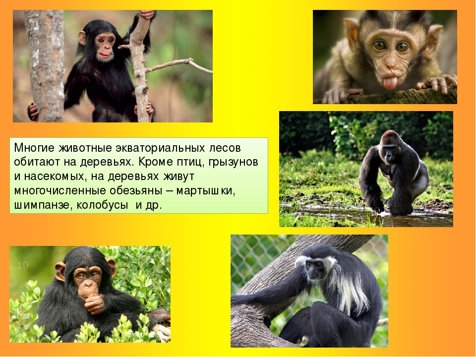 Многие животные экваториальных лесов обитают на деревьях. Кроме птиц, грызуно...