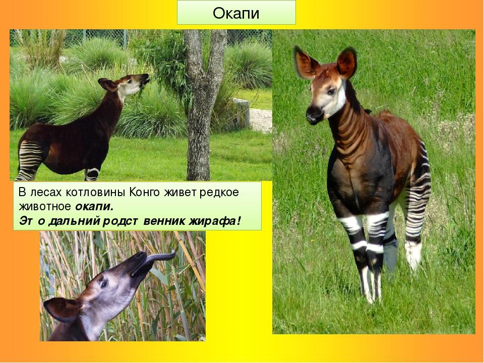 В лесах котловины Конго живет редкое животное окапи. Это дальний родственник...