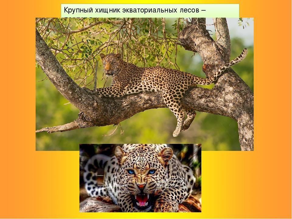 Крупный хищник экваториальных лесов – леопард.