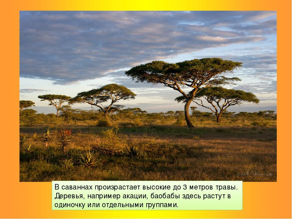 В саваннах произрастает высокие до 3 метров травы. Деревья, например акации,...