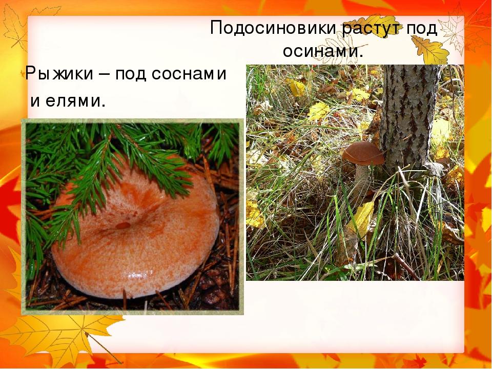 Подберезовики под осинами растут подосиновики