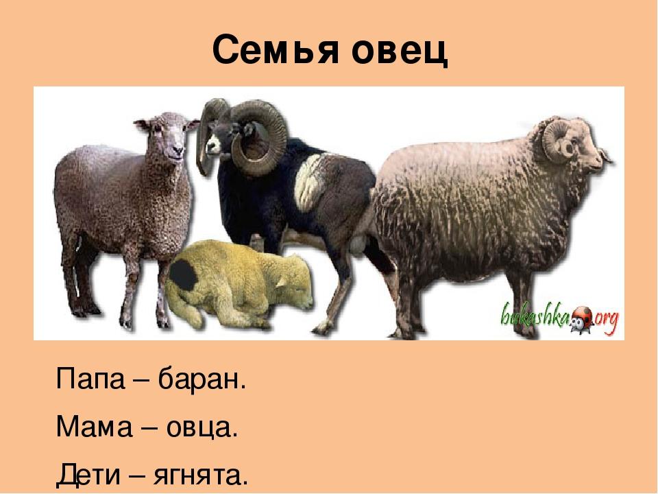чем питается овца для детей