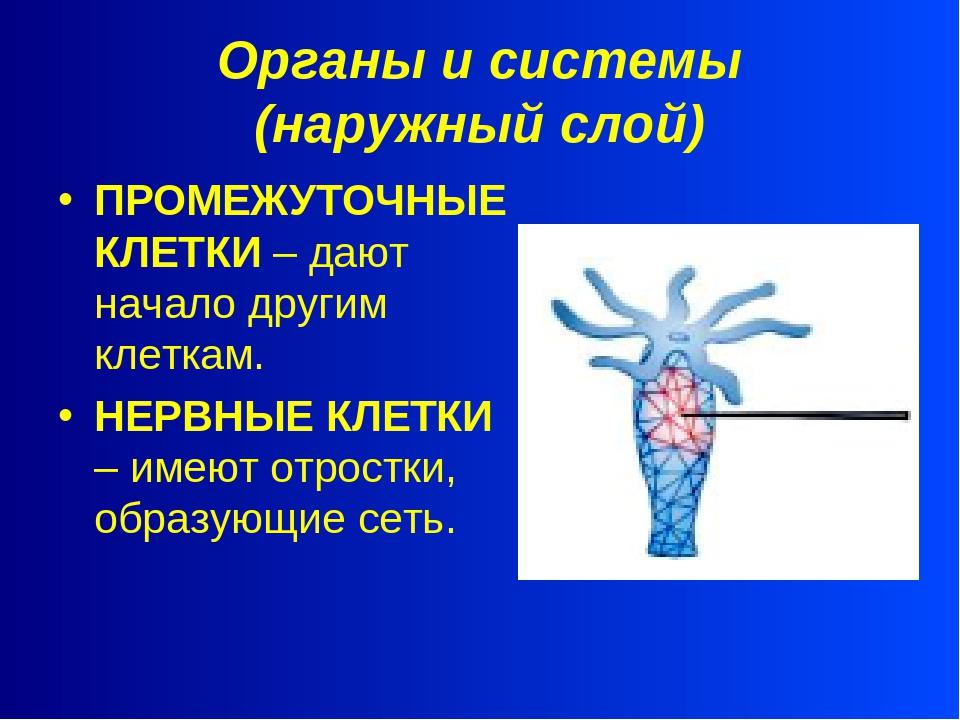 Органы и системы (наружный слой) ПРОМЕЖУТОЧНЫЕ КЛЕТКИ – дают начало другим кл...