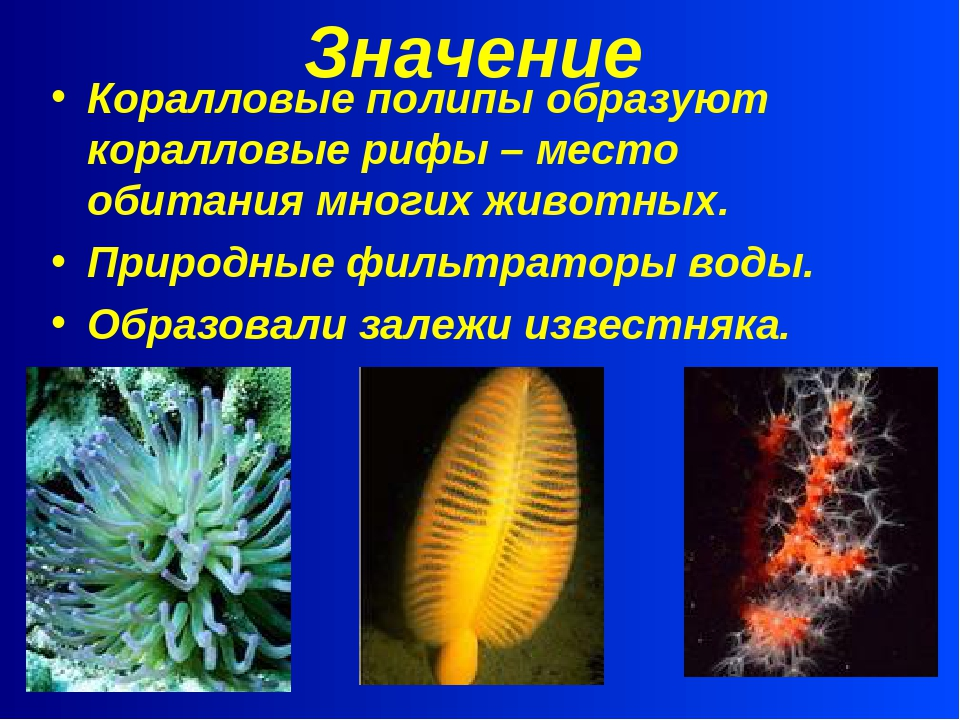 Значение Коралловые полипы образуют коралловые рифы – место обитания многих ж...
