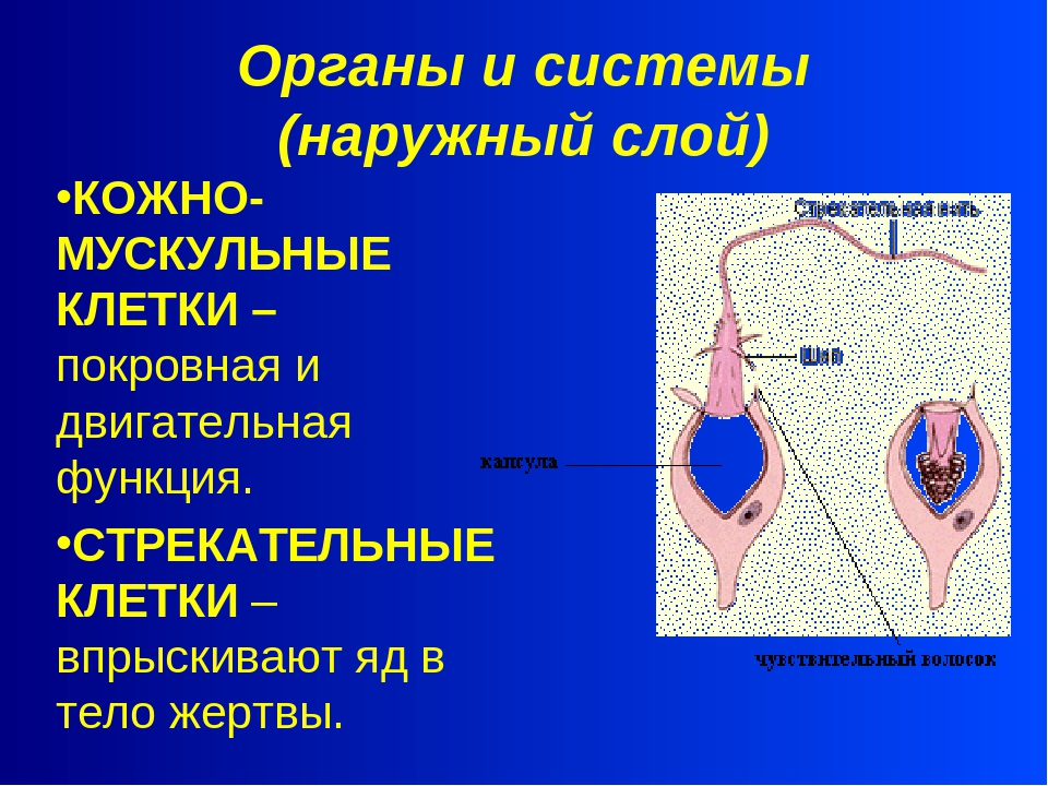 Органы и системы (наружный слой) КОЖНО-МУСКУЛЬНЫЕ КЛЕТКИ – покровная и двигат...