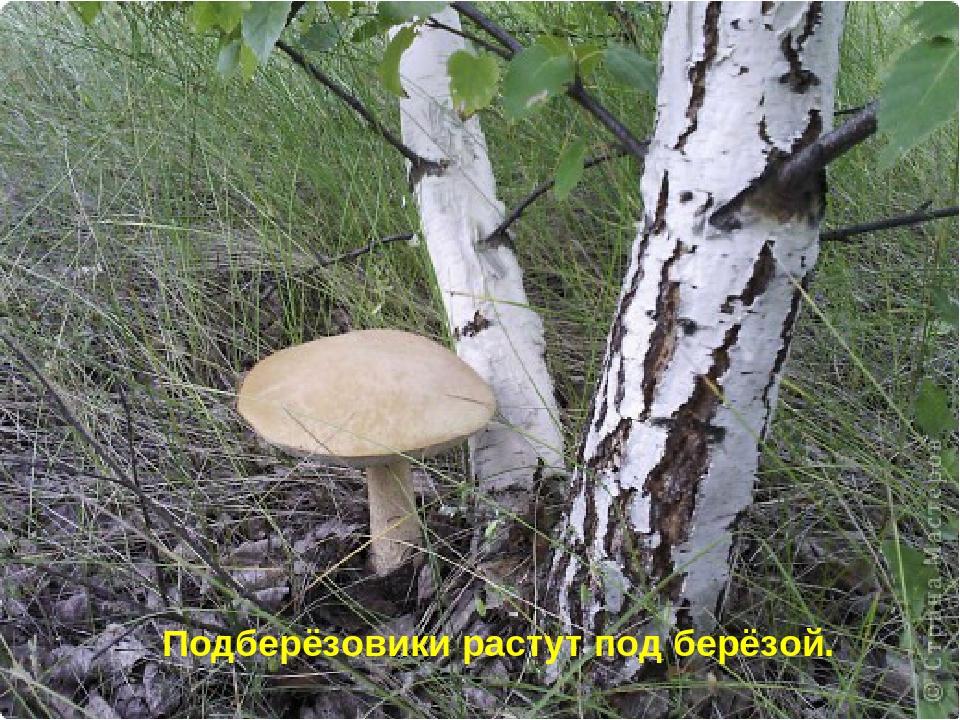 сыпи картинка гриб подберезовик под березой этот день