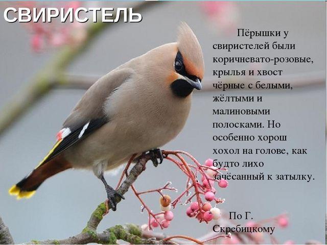 СВИРИСТЕЛЬ Пёрышки у свиристелей были коричневато-розовые, крылья и хвост чёр...