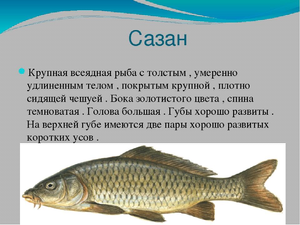 рыба сазан фото и описание результате кровь начинает
