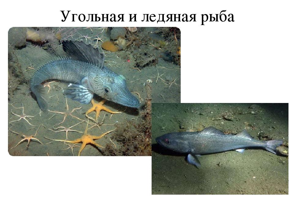 Угольная и ледяная рыба