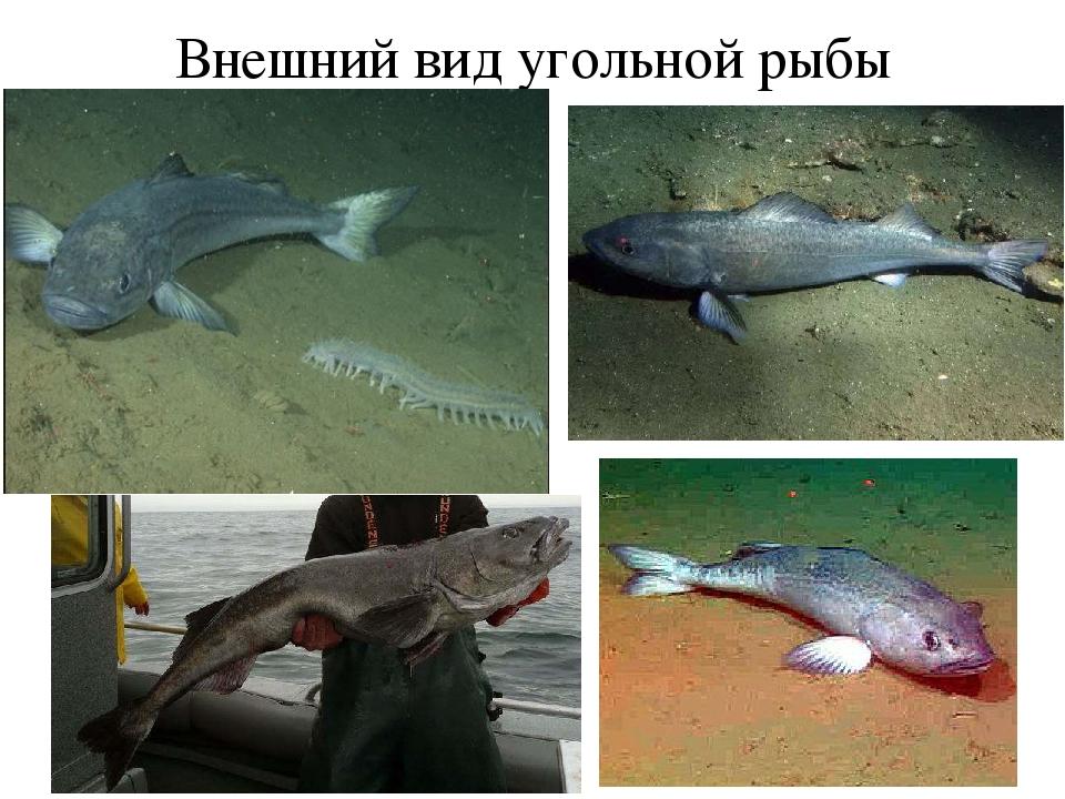 Внешний вид угольной рыбы