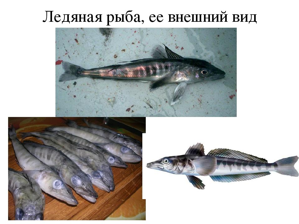 Ледяная рыба, ее внешний вид