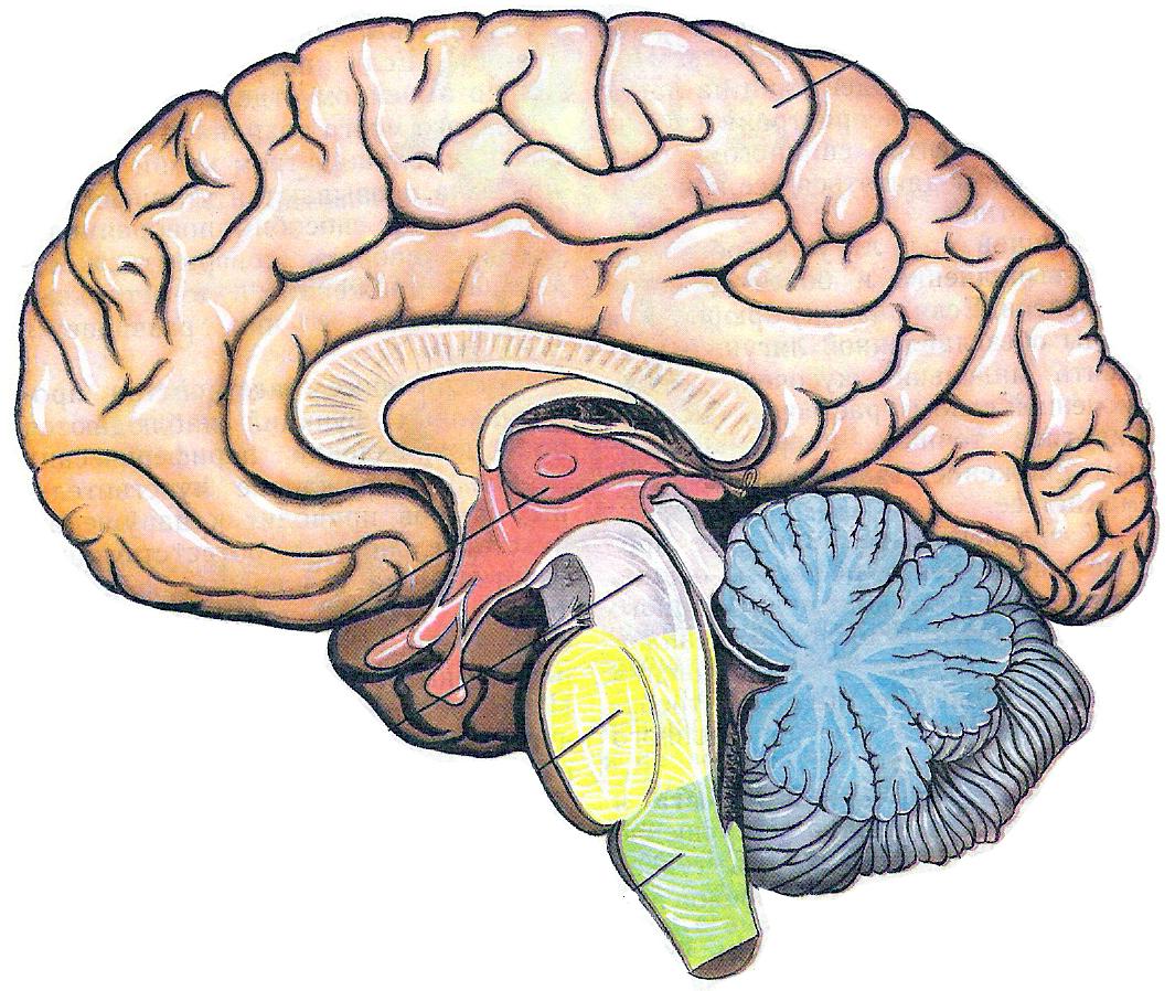Головной мозг смотреть в картинках
