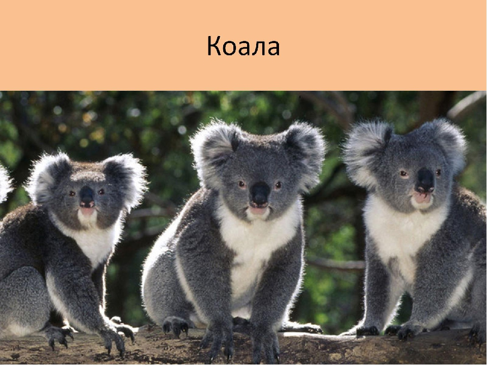 australia animals When early european settlers first encountered koalas in australia, they thought the tree-climbing animals were bears or monkeys even today people still incorrectly refer to koalas as koala bears.