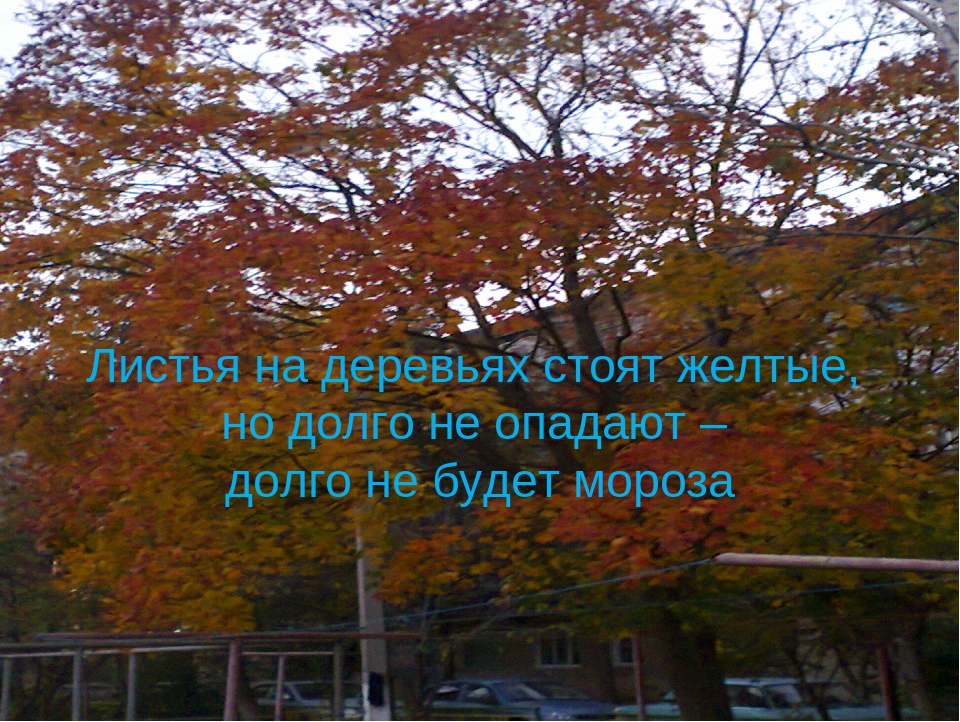 Листья на деревьях стоят желтые, но долго не опадают – долго не будет мороза