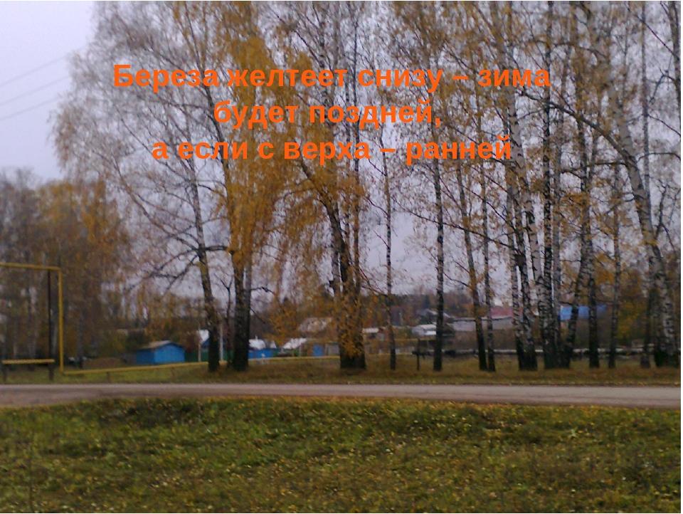 Береза желтеет снизу – зима будет поздней, а если с верха – ранней