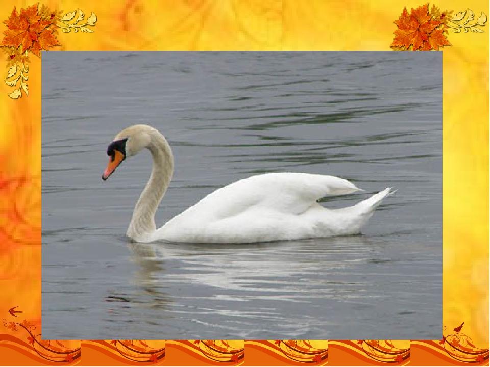 Длинношеяя эта птица Грациозна, как царица, Гладью водной проплывает, Чудно ш...