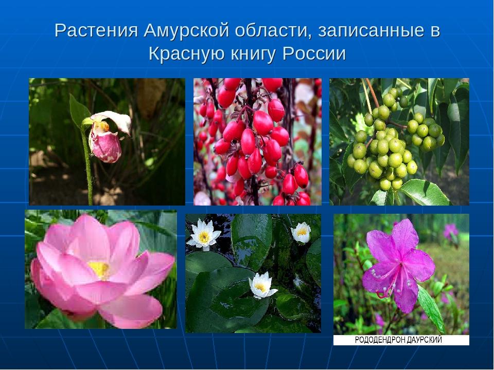 растительность амурской обл в картинках предлагаем