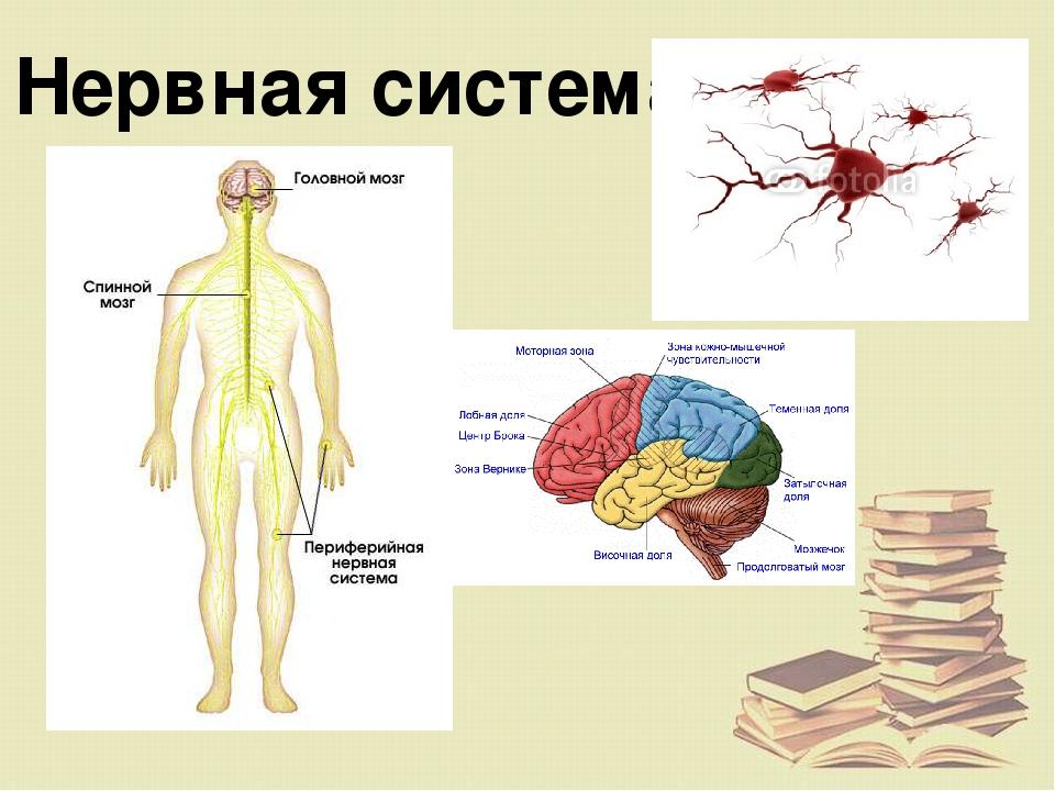 возможность нервная система человека реферат картинки данной марки
