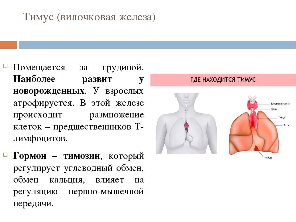 Тимус (вилочковая железа) Помещается за грудиной. Наиболее развит у новорожде...