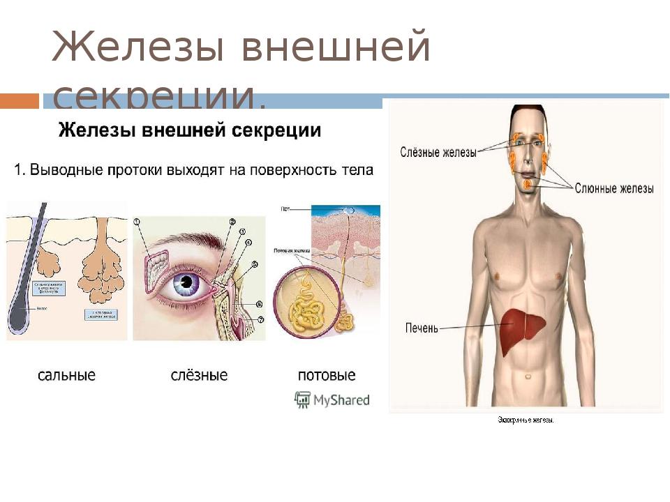Железы внешней секреции.