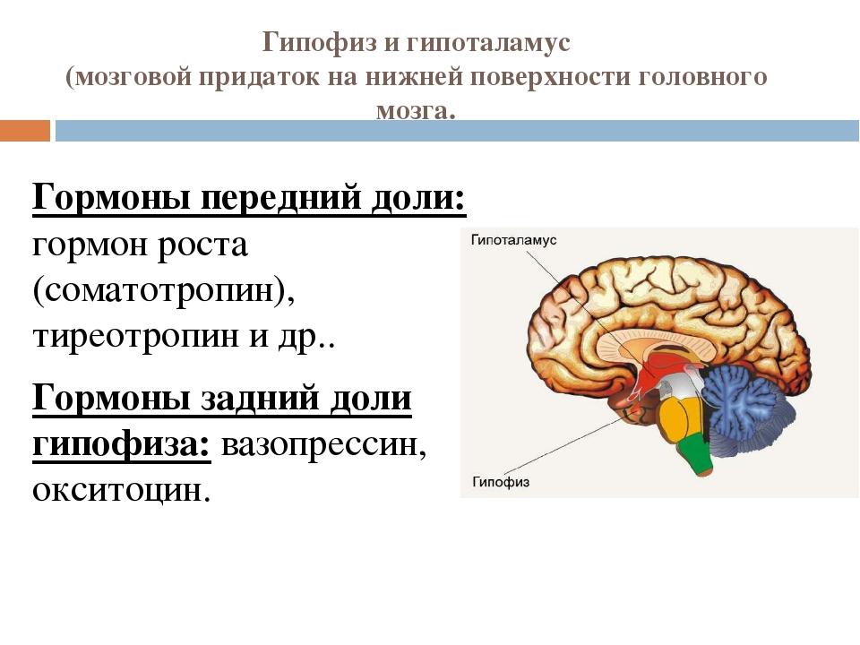 Гипофиз и гипоталамус (мозговой придаток на нижней поверхности головного мозг...
