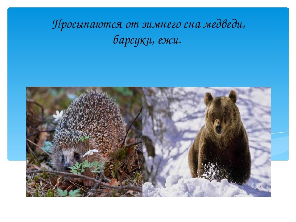 Просыпаются от зимнего сна медведи, барсуки, ежи.