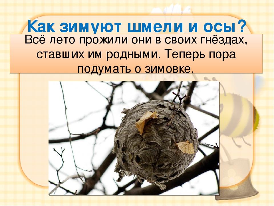 Как зимуют шмели и осы? Всё лето прожили они в своих гнёздах, ставших им родн...