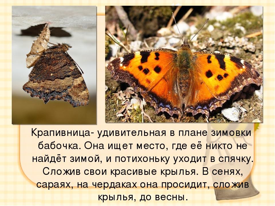 Крапивница- удивительная в плане зимовки бабочка. Она ищет место, где её ник...