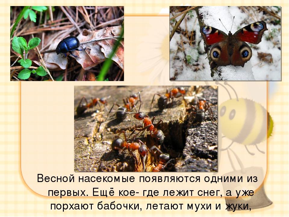 Весной насекомые появляются одними из первых. Ещё кое- где лежит снег, а уже...