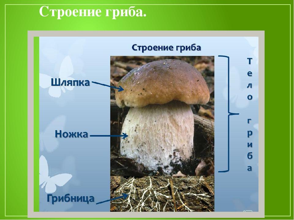 Картинки строение грибов для детей
