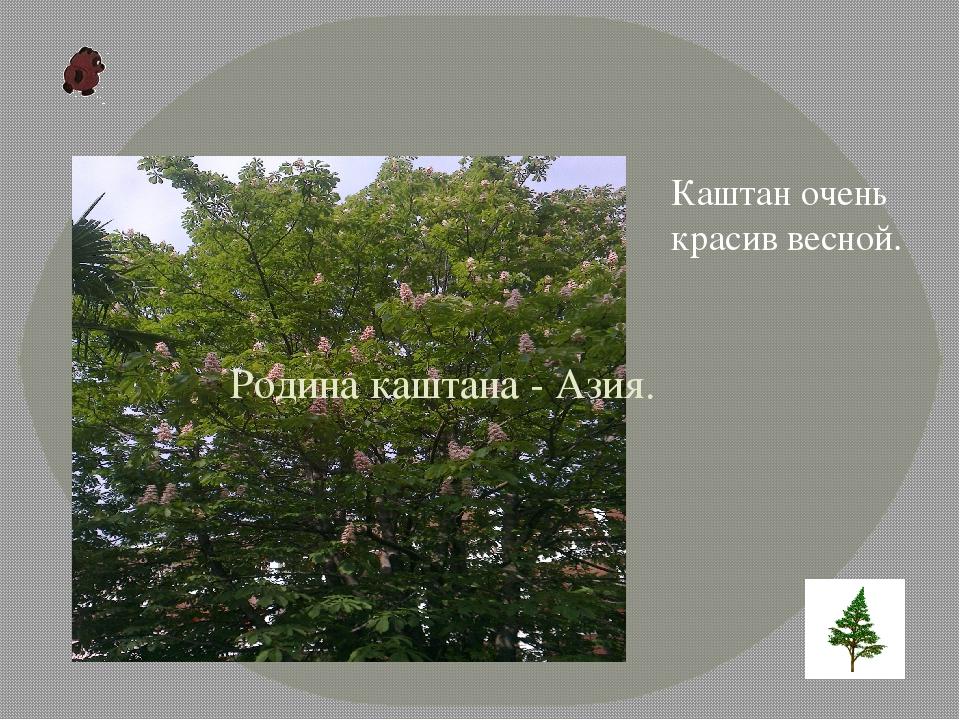 Родина каштана- Азия. Каштаночень красив весной.