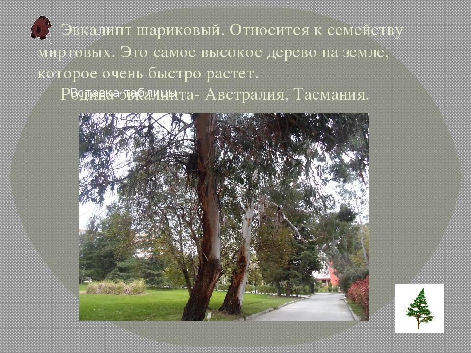 Эвкалипт шариковый. Относится к семейству миртовых. Это самое высокое дерево...