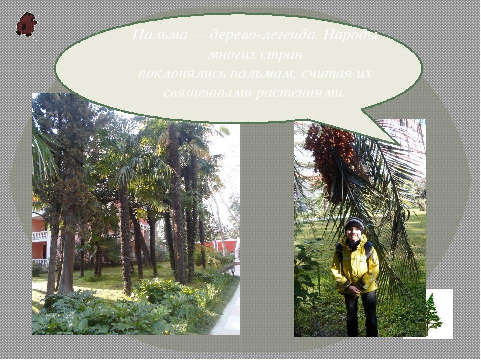 Пальма— дерево-легенда. Народы многих стран поклонялисьпальмам,считая их...