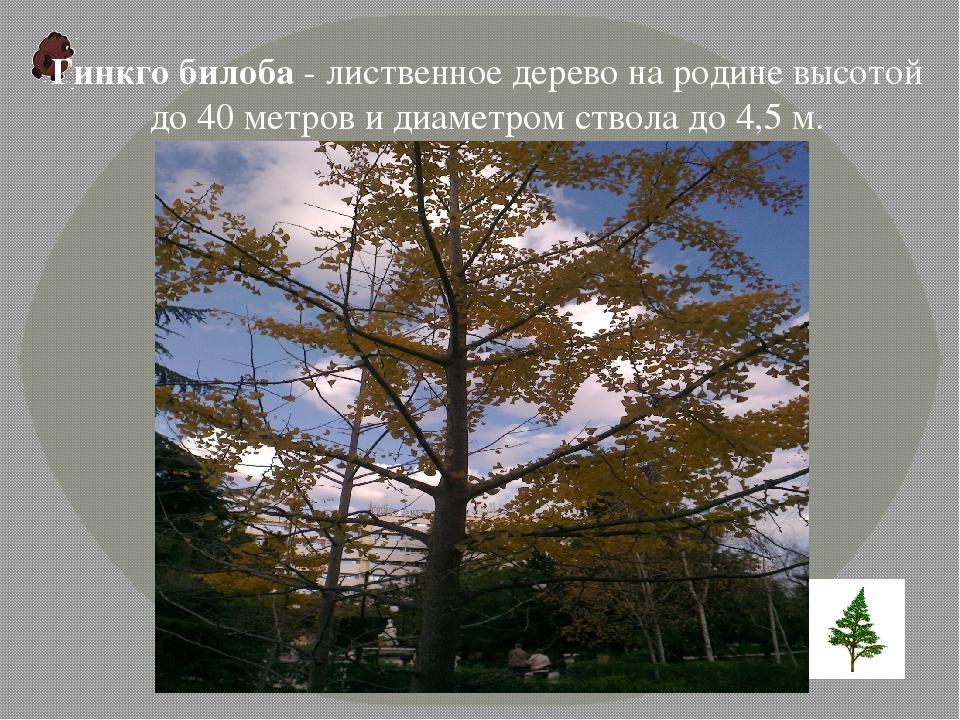 Гинкго билоба- лиственное дерево на родине высотой до 40 метров и диаметром...