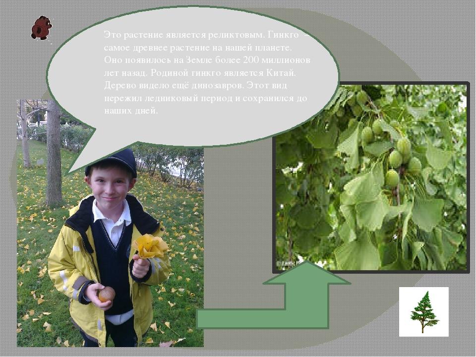 Это растение является реликтовым. Гинкго – самое древнее растение на нашей п...