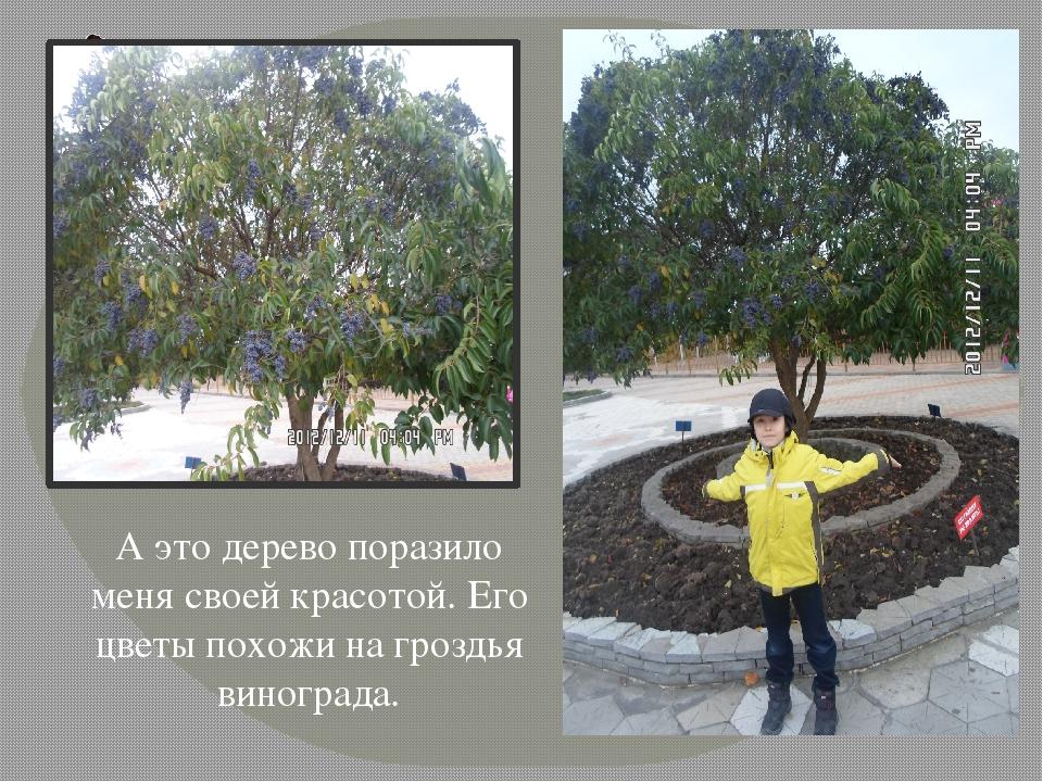 А это дерево поразило меня своей красотой. Его цветы похожи на гроздья виногр...