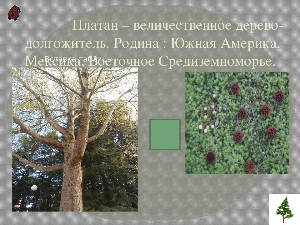 Платан – величественное дерево-долгожитель. Родина : Южная Америка, Мексика,...