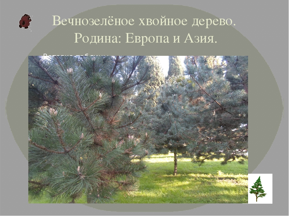 Вечнозелёное хвойное дерево. Родина: Европа и Азия.