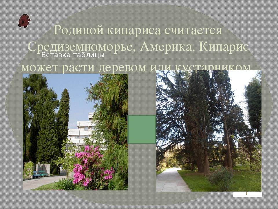 Родиной кипариса считается Средиземноморье, Америка. Кипарис может расти дере...