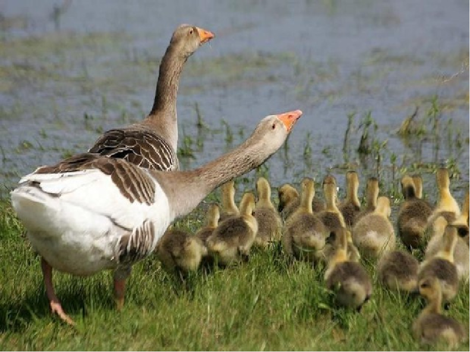 фото домашних птиц с детенышами выполняю работу