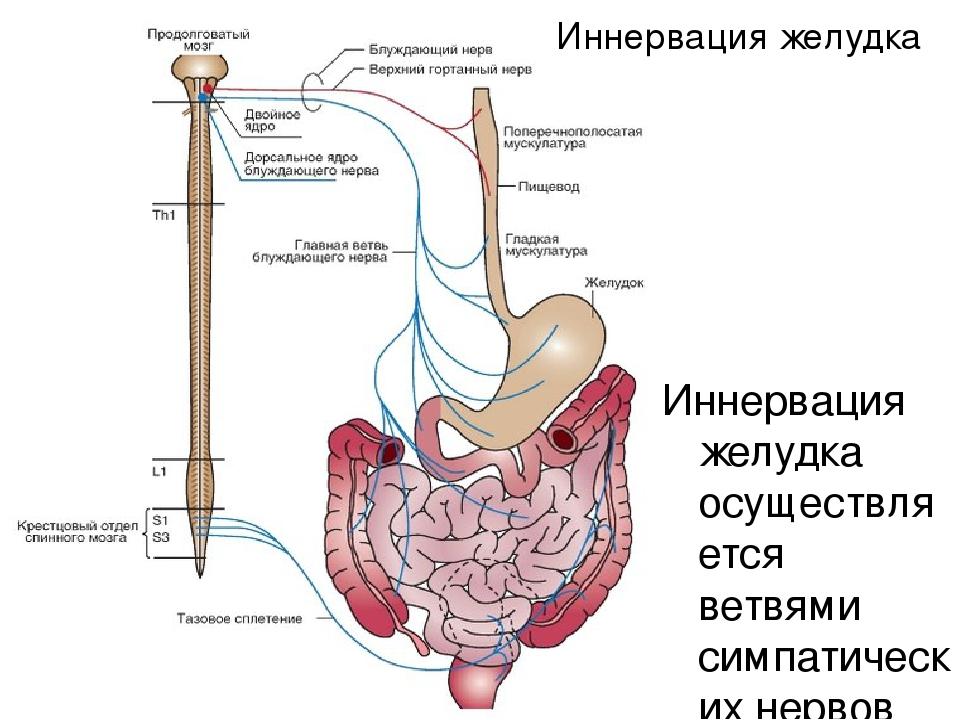 """Презентация по анатомии и физиологии человека на тему """"Анатомия органов пищеварительного канала"""""""