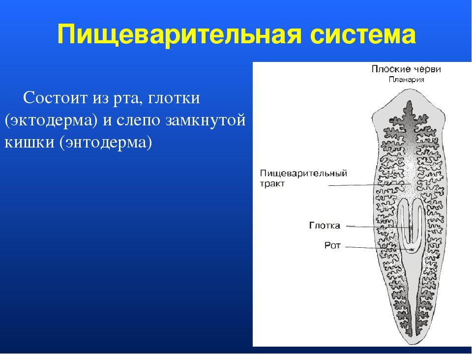 Пищеварительная система Состоит из рта, глотки (эктодерма) и слепо замкнутой...