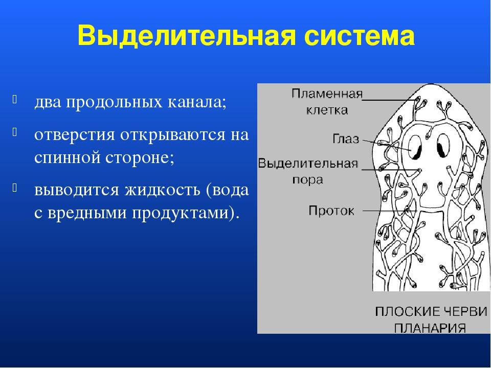 Выделительная система два продольных канала; отверстия открываются на спинной...