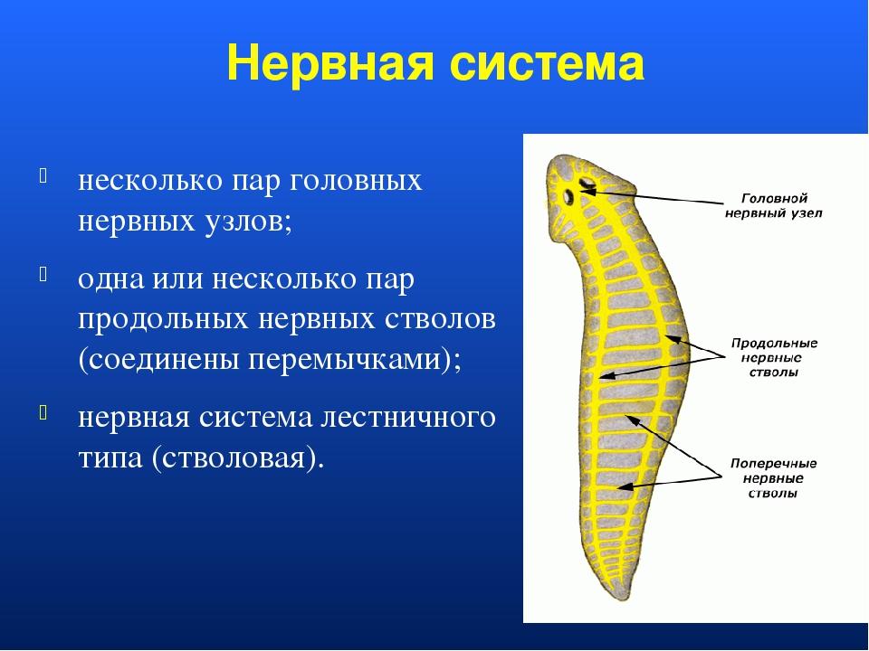 Нервная система несколько пар головных нервных узлов; одна или несколько пар...