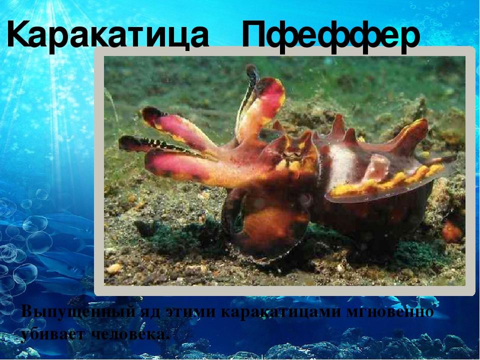 Каракатица Пфеффер Выпущенный яд этими каракатицами мгновенно убивает челове...