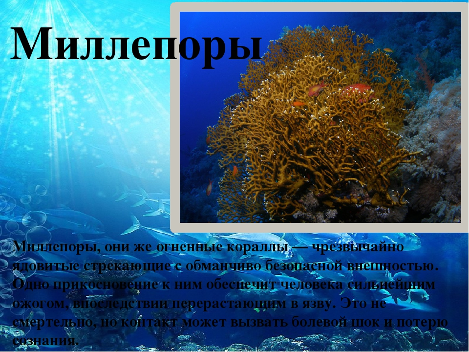 Миллепоры Миллепоры, они же огненные кораллы — чрезвычайно ядовитые стрекающ...