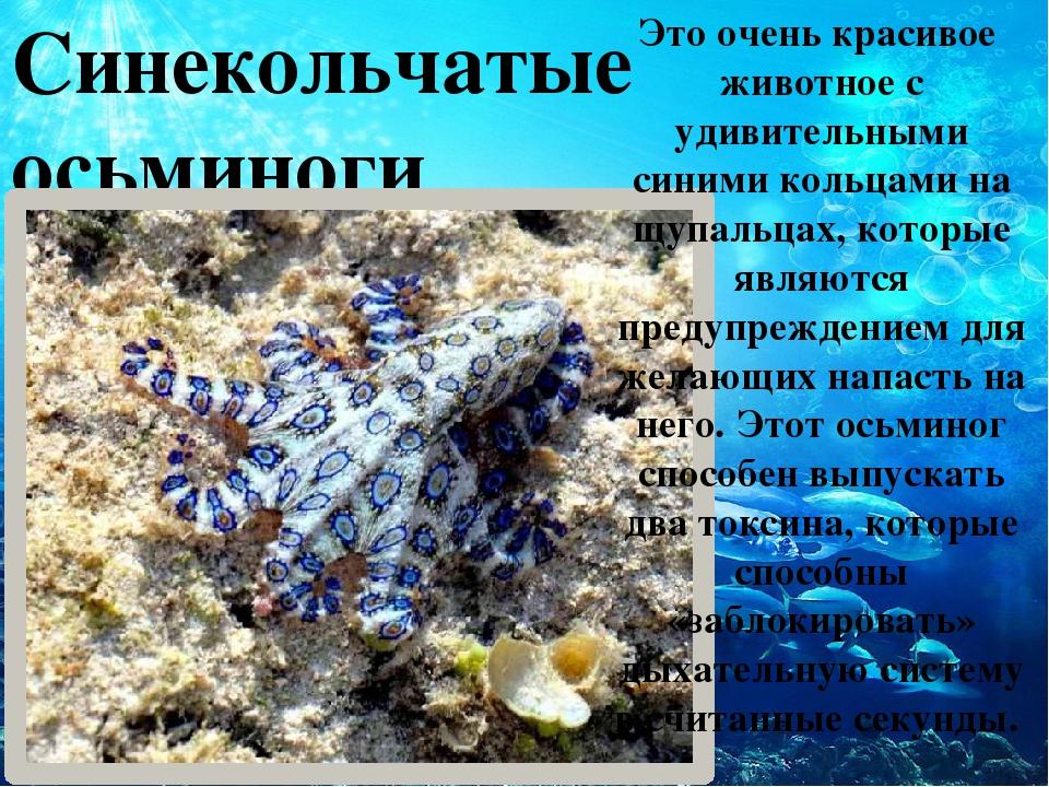 Синекольчатые осьминоги Это очень красивое животное с удивительными синими к...