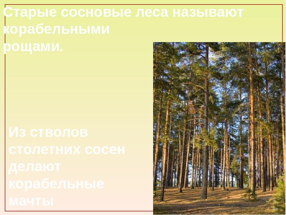 Старые сосновые леса называют корабельными рощами. Из стволов столетних сосен...