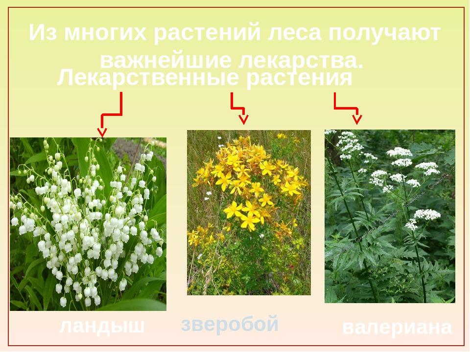 Из многих растений леса получают важнейшие лекарства. зверобой ландыш валериа...