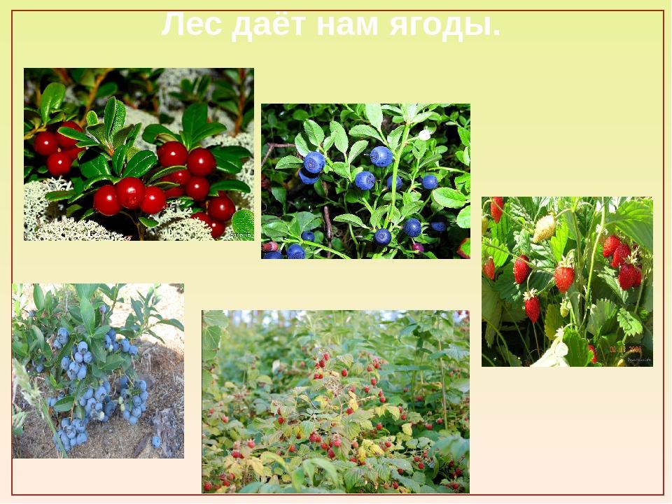 Лес даёт нам ягоды.